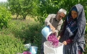 سرپرست مرکز جهاد کشاورزی آبیز: آغاز برداشت گل گاو زبان در زیرکوه