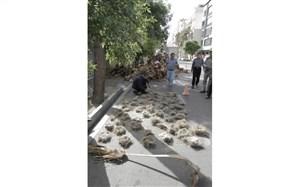 هرس بی موقع درختان توسط شهرداری شیراز و تخریب لانهی بسیاری از پرندگان
