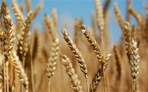 مشاور وزیر کشاورزی: خودکفایی در تولید گندم امسال نیز تکرار می شود