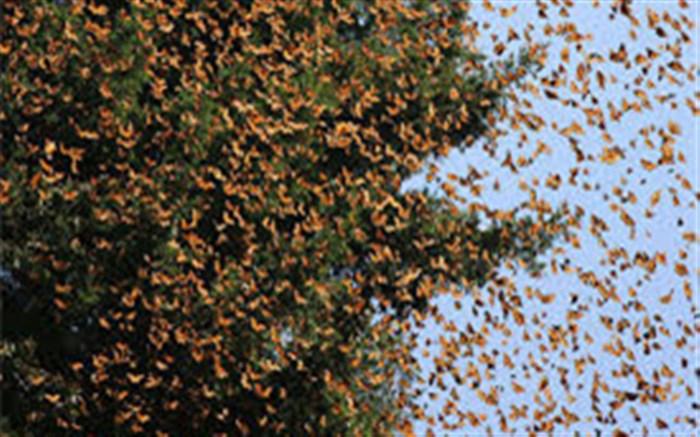 پرواز پروانههای رنگی در آسمان شهربیرجند