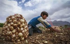 پاسخ نائبرئیس خانه کشاورز به چرایی بر زمین ماندن پیاز تولیدی کشاورزان