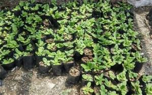 تولید و توزیع بیش از 6000 اصله نشاء گل گاو زبان در فاز دوم منطقه اجرایی ترسیب کربن  شهرستان محلات