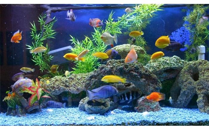تولید افزون بر دو میلیون بچه ماهی زینتی در آستانه اشرفیه