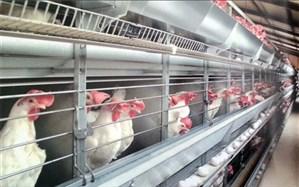 مرغهای تخمگذار در آستانه کشتار