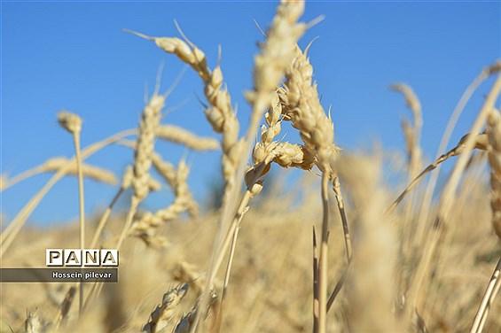 به ثمر رسیدن خوشههای طلایی گندم در شهرستان خوسف
