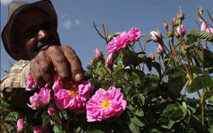 افزایش ۵۰ درصدی کشت گل محمدی در میامی