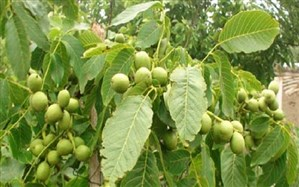 رئیس سازمان جهادکشاورزی استان: بیش از 7 درصد باغات گردوی کشور در آذربایجان شرقی قرار دارد