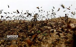 مبارزه با ملخ صحرایی در ۱۹۵ هکتار از اراضی