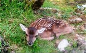 تولد گونه جانوری حمایت شده مرال در آستارا
