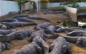 هجوم تمساح های گرسنه به مرکز شهر پیشین