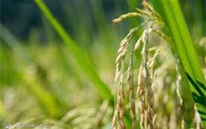 معرفی رقم جدید برنج ایرانی در گیلان، بزودی