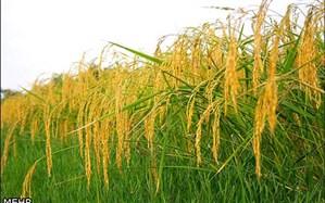 اولین خوشه های برنج در رشت و املش به بار نشست