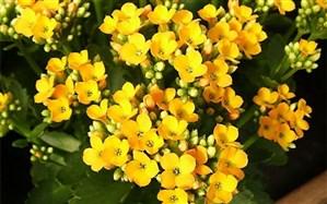 گیاه همیشه سبز کالانکوا گیاهی مناسب برای درمان سنتی فشار خون