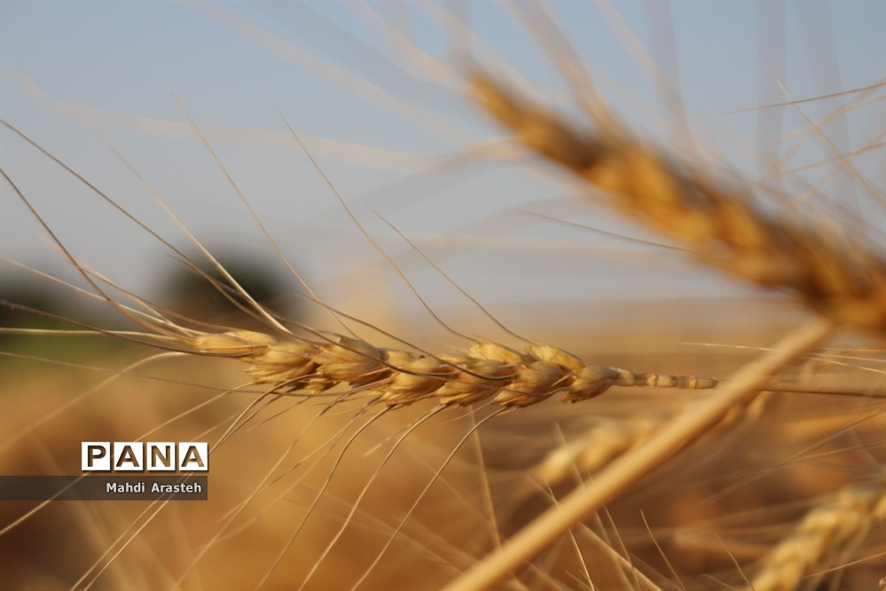 ۷هزار تن گندم از کشاورزان گلوگاه خریده شد
