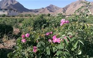 طلوع گل های سرخ در مزارع «برزک»