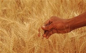 تحویل بیش از 500 هزار تُن گندم در فارس