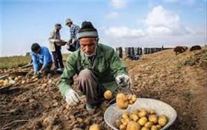 افزایش ۱۰ درصدی سطح زیر کشت سیب زمینی در اردبیل