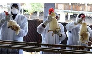 رییس شبکه دامپزشکی قاین :طرح پایش بیماری آنفولانزای فوق حاد در مرغداریهای قاین