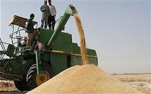 ۳۵ هزار تن گندم در نقده خریداری شد