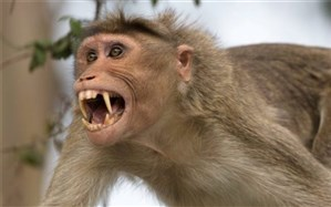 حمله میمونهای وحشی به شهروندان سیاهکلی