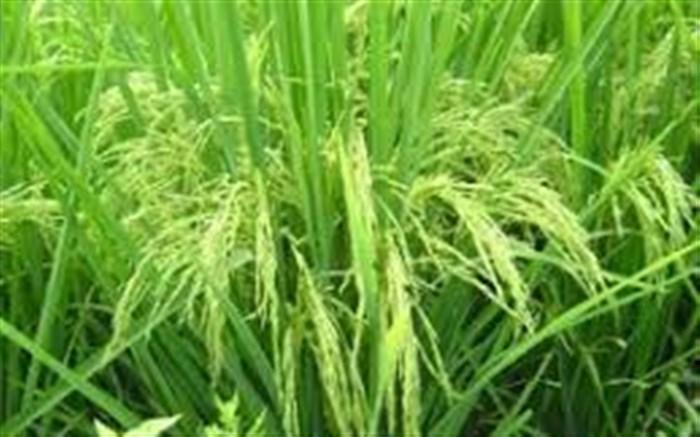 رونمایی از ۲رقم جدید برنج در رشت