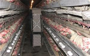 ۸۳۶۰ تن تخم مرغ در مرغداری های شهرستان آبیک تولید شد