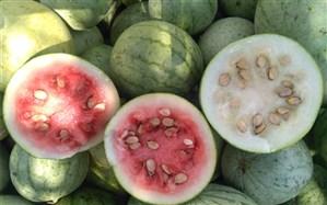 آغاز برداشت هندوانه دیم از مزارع بخش کنارتخته و کمارج