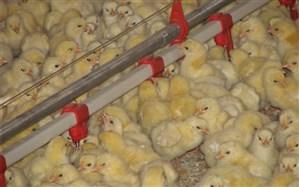 ۴۵۵ هزار قطعه جوجه ریزی در مرغداری های شهرستان آبیک انجام شد