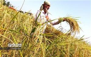 واردات برنج تا پایان فصل برداشت ممنوع است