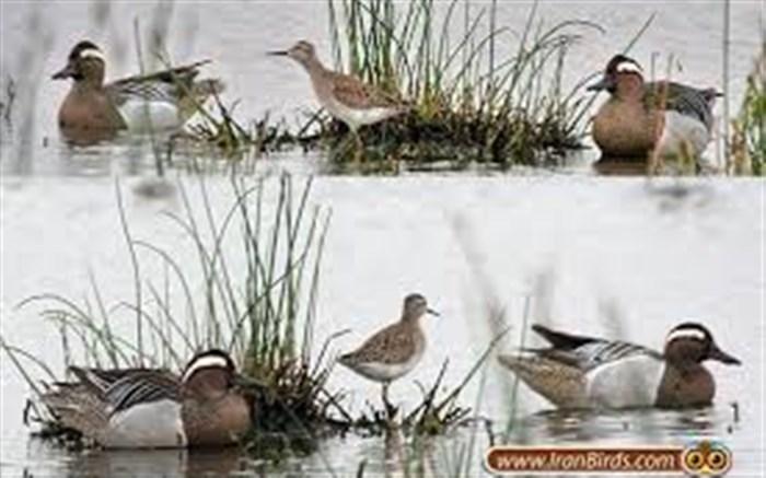 پیش قراولان پرندگان مهاجر به گیلان وارد شدند