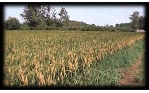 افزایش پرورش راتون و کشت کلزا پس از برداشت برنج در شالیزارهای رشت