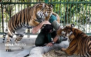 عفونت تنفسی، علت مرگ ببرها در باغ وحش وکیلآباد مشهد