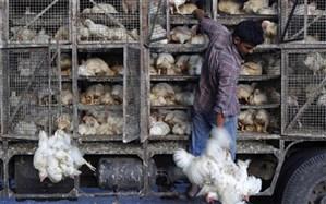 2  میلیارد و 280 میلیون ریال  مرغ زنده قاچاق در اشکذر کشف شد