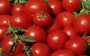 برداشت گوجهفرنگی در آذربایجانغربی آغاز شد