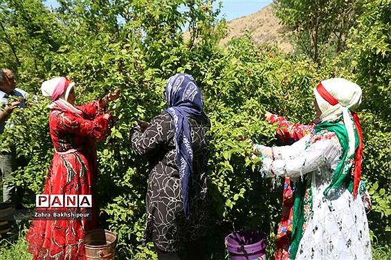 جشنواره زغال اخته در کلیبر