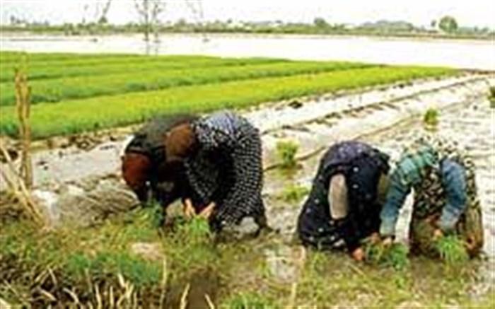 تولید محصولات کشت دوم در شالیزارهای گیلان رونق یافت