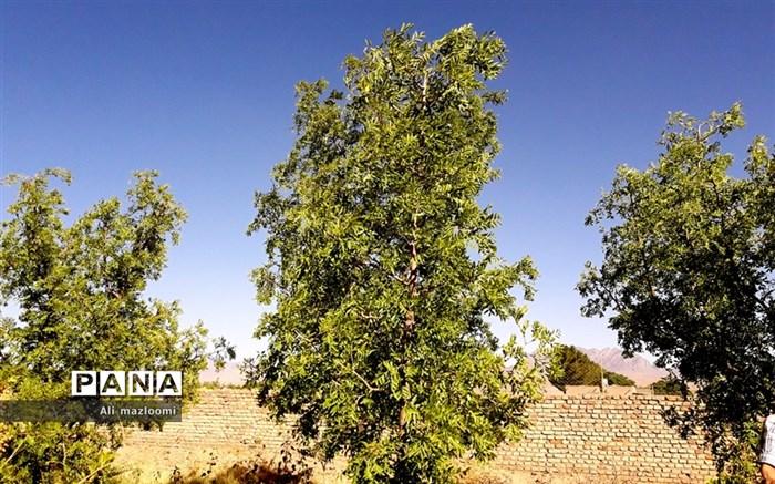 عناب میوه درخت کوچک و گرمسیری  که در تابستان قابل برداشت است
