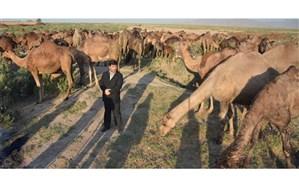 حمایت  جهادکشاورزی  آذربایجان شرقی از توسعه صنعت پرورش شتر در اراضی حاشیه دریاچه ارومیه