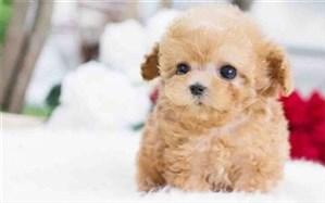 دزدیدن سگ 40 میلیون تومانی یک زن در سعادتآباد تهران