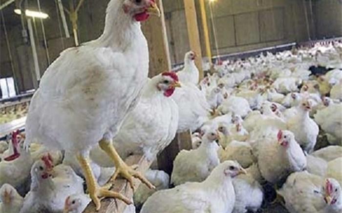 رئیس شبکه دامپزشکی شهرستان قاین : پرورش بیش از دو میلیون قطعه مرغ گوشتی در قاین