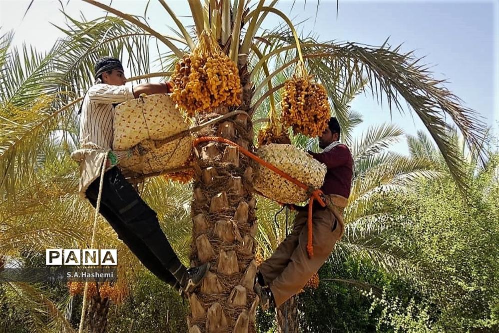 برداشت چهل تن  رُطَب و خرما، در  مهد نخلستان فارس