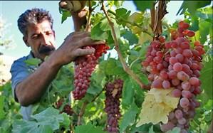 برداشت ۲۰۰ هزار تن انگور از باغهای آذربایجانغربی آغاز شد