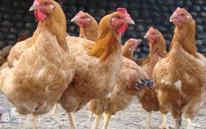 توزیع 3500  قطعه نیمچه مرغ  بومی در مناطق عشایری فارس