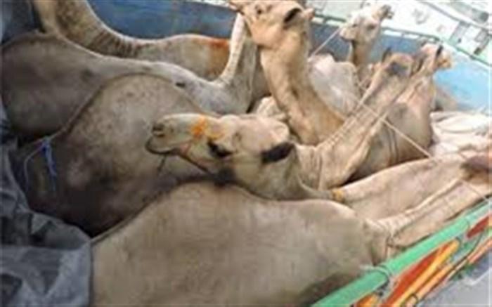 قاچاق شتر