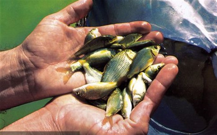 توزیع بچه ماهی