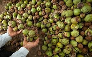 پیش بینی برداشت بیش از ٣ هزار و ٦٠٠ تن گردو از باغات اسدآباد