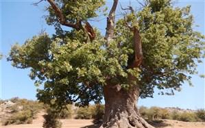 درخت هزارساله گیلان در فهرست میراث طبیعی  کشور ثبت شد