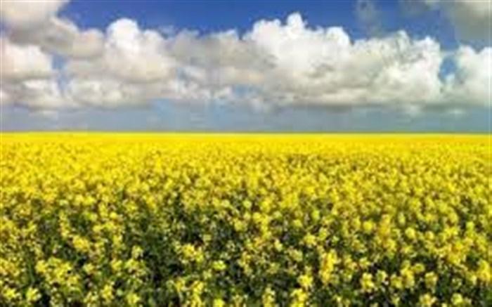 گیلان در تدارک کشت گلهای زرد ;کلزا می رود