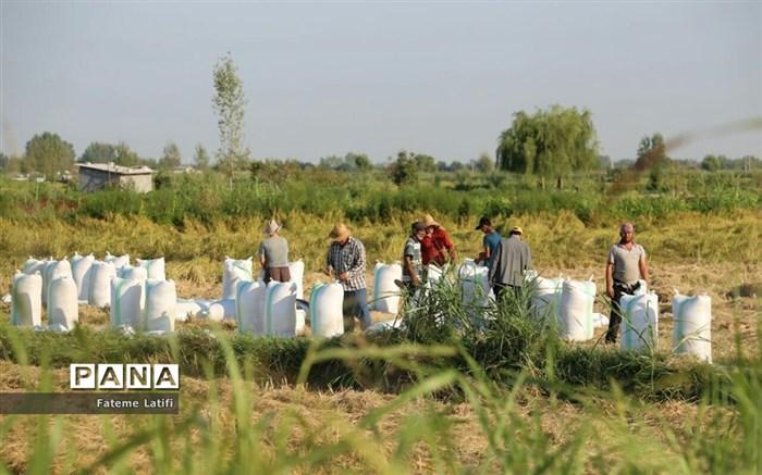  آغاز فصل برداشت برنج  روستاهای محمودآباد