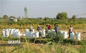هزینه برداشت برنج 50 درصد کاهش یافت